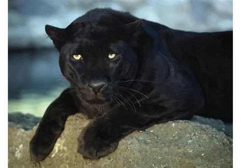 Black Leopard black leopard free vector stock graphics