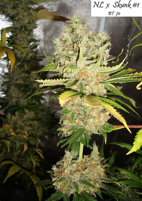 Northern Lights X Skunk 1 Cannabis Seeds Seed Mine | strain gallery northern lights x skunk 1 ceres seeds