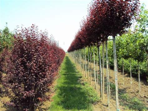 piante da giardino alto fusto vivaio le radici vendita piante ornamentali da siepe e