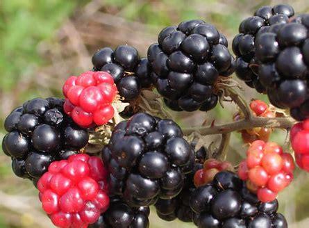 khasiat buah arbei  kesehatan  kecantikan khasiat