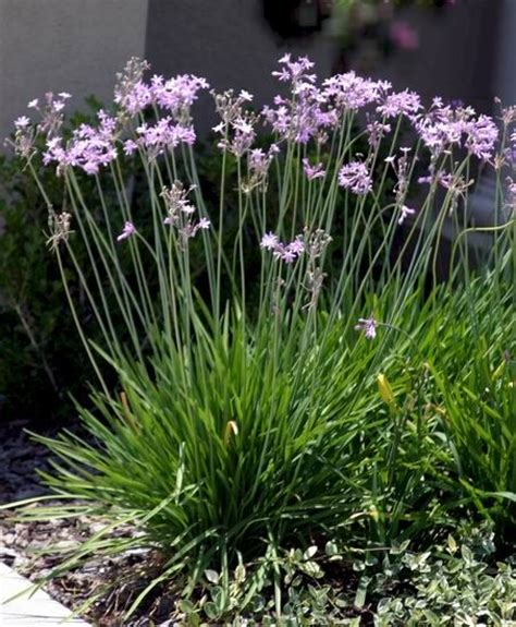society garlic is a beautiful low grass like groundcover with little maintenance requirements