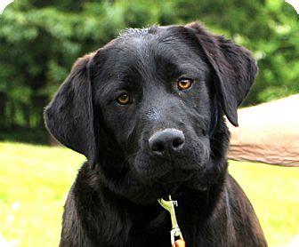 golden retriever chesapeake bay retriever mix glastonbury ct chesapeake bay retriever labrador retriever mix meet madden a puppy