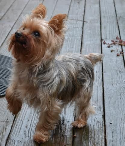 12 pound yorkie i am lucky a social with 12 year 8 pound neutered
