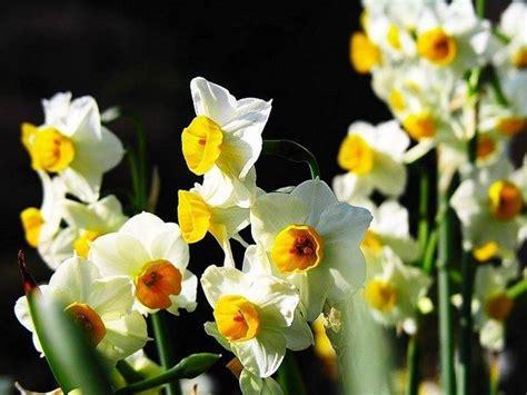 nomi di fiori con la a fiori narciso fiori delle piante