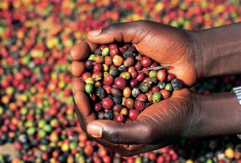 Disease resistant coffee stuck in Ugandan labs   InformAfrica.com