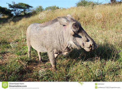 warthog stock images image 30370184
