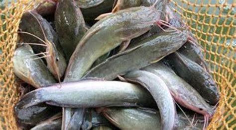 Pembesaran 6 Ikan Konsumsi Di Pekarangan Lele Belut Gurami Patin Dll lele rasa belut mau global liputan6