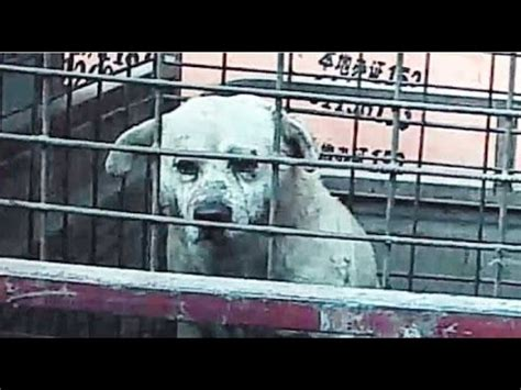 dog slaughter house slaughterhouse of dogs in china part 1 vidoemo emotional video unity