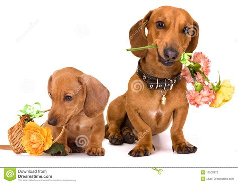 puppies and flowers dachshund and flowers stock photography image 11508772