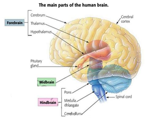 What Are The Four Sections Of The Brain by Snippd The Central Nervous System