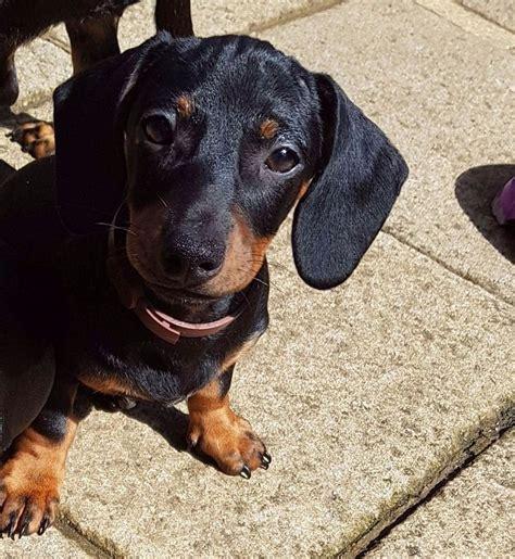 dachshund puppies for sale in washington lovely dachshund puppies for sale in peterborough cambridgeshire gumtree