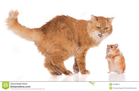 and cat cat and a hamster stock photo image 49786815