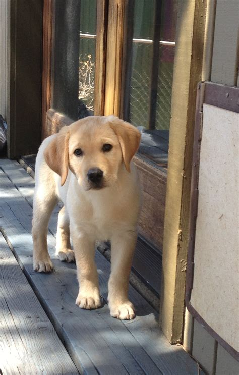 lab puppies dallas pin by janet on mans best friend recipes labs puppys and