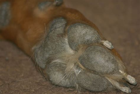 cut paw pad taking care of a s cut foot ehow uk
