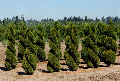 arborvitae topiary the at wholesale nurseries the world s