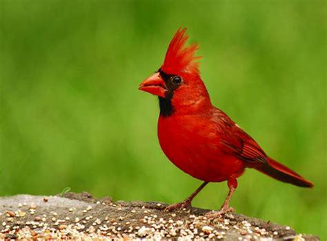 west virginia west virginia wv state bird list of 50 state birdes of