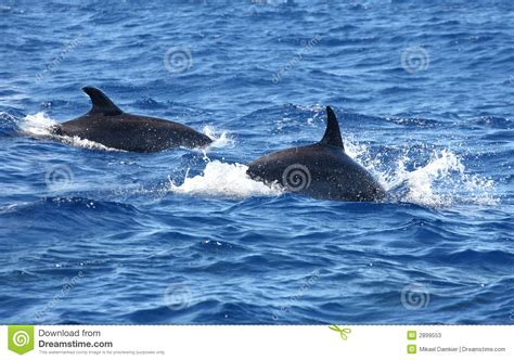 Dolphin Jump Out Of The Water Stock Photos - Image: 2899553