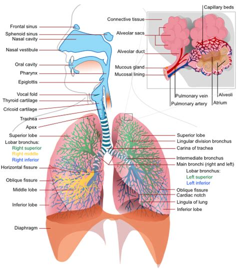 the respiratory system diagram respiratory system complete en clip at clker