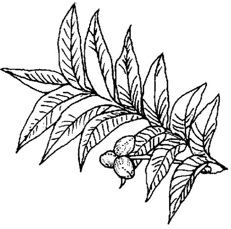 coloring page pecan tree texas state tree coloring pages