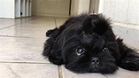 all black shih tzu beautiful black shih tzu puppy