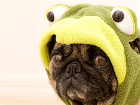pugs are us 10 reasons that pugs are the funniest dogs in the world