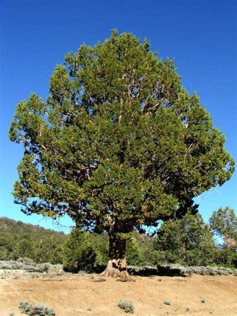 juniperus occidentalis western juniper