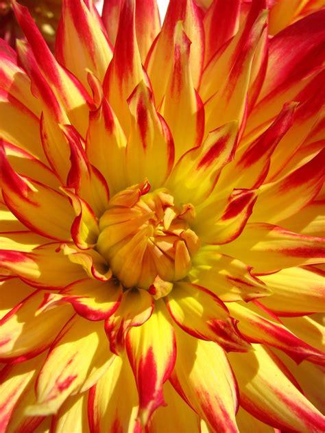 hot hot hot dahlias photos and flower