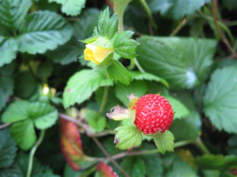 Strawberry Yellow yellow flowered strawberry plant lore