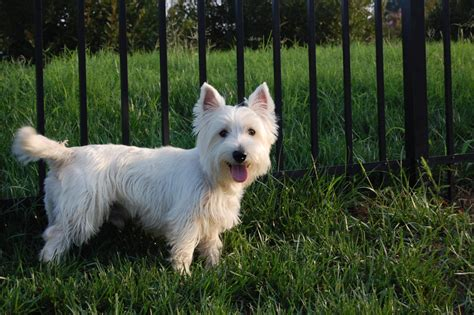 the dog house charlotte nc found westie dog charlotte nc classified ads buy and sell listings houses