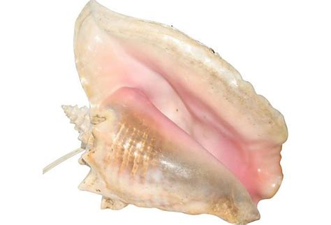 Conch Shell L by King Conch Shell Light
