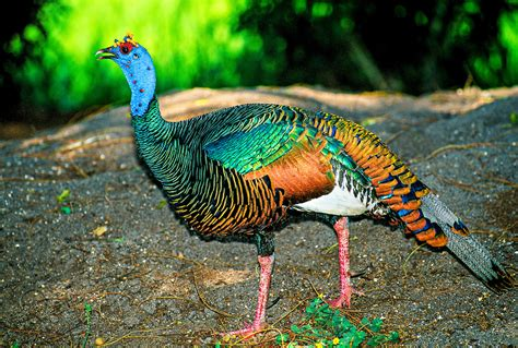 turkey meleagris animals a z animals animal facts ocellated turkey facts range habitat diet calls pictures