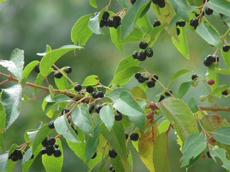 Arbuste Baies Noires by Maqui 224 Baies Noires Nature Gastronomique Et M 233 Dicinale
