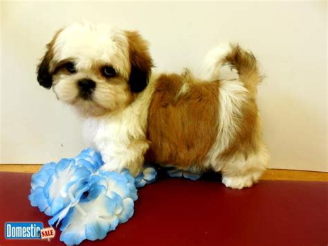 shih tzu allergy free 17 best images about chicago hugable puppies on parks beagle puppies and