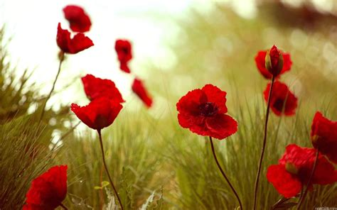 computer wallpaper poppies wallpapers poppies wallpaper cave