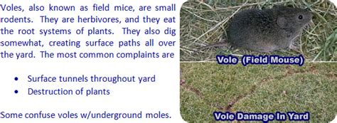 How To Get Rid Of Field Mice In Garage by How To Get Rid Of Voles In The Yard Garden Or House