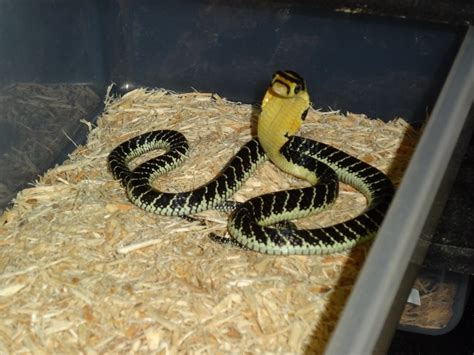 facts about serpentology baby king cobra snake www pixshark com images