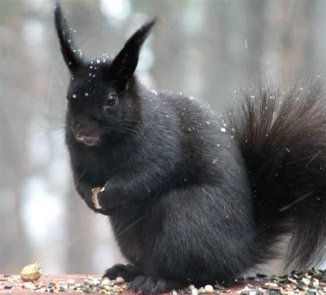 First Hybrid Between An Eastern Gray Squirrel And Eurasian Black Squirrel