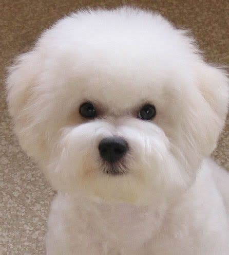 dog haircuts austin 17 best maltipoo cuts images on pinterest doggies dogs