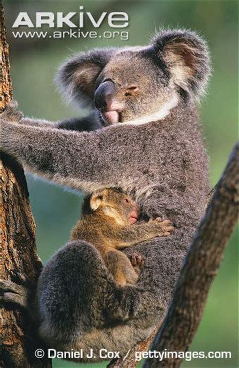 female koala pouch koala and joey