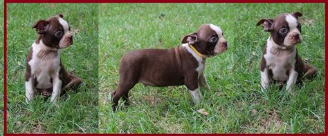 puppies for sale in birmingham al boston terrier puppies for sale birmingham al dogs in our photo