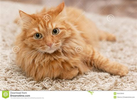 Fluffy cat stock image. Image of curiosity, down, carpet