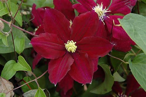 planet color mokena rosemoor clematis clematis rosemoor in mokena tinley