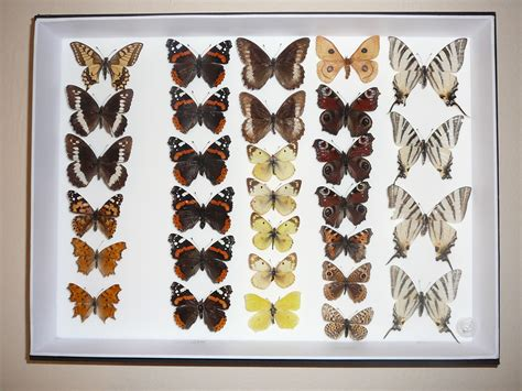 collection of file butterfly collection jpg 10