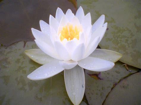 fiore di loto simbolo fior di loto org la simbologia fior di loto