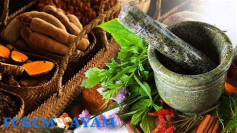 Obat Herbal Untuk Stamina Ayam khasiat tanaman ramuan tradisional untuk ayam bangkok anda