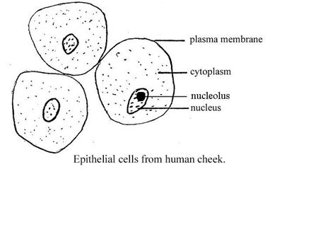 cheek cell diagram pics for gt cheek cell labeled diagram