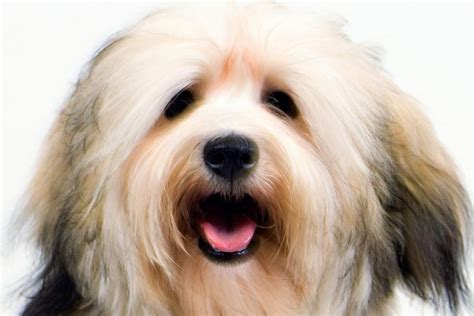 expectancy of havanese dogs havanese breed information american kennel club