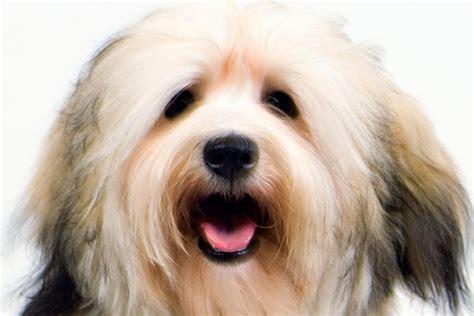 what is a havanese breed havanese breed information american kennel club