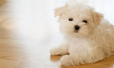 maltese puppies 7 breeds that prefer the company of humans barkpost