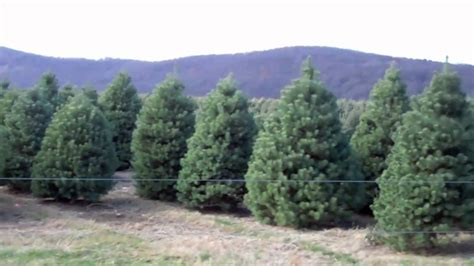 10 000 christmas trees in nj evergreen valley christmas